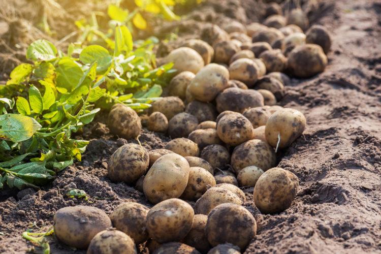 verse aardappelen in veld.